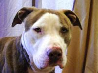 Pit Bull Terrier - Brooklyn - Large - Adult - Female -