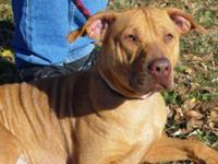 Pit Bull Terrier - Bruiser - Medium - Young - Male -