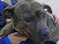 Pit Bull Terrier - Bubbles - Medium - Young - Female -