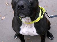 Pit Bull Terrier - Buckley - Medium - Adult - Male -