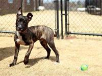 Pit Bull Terrier - Bud - Medium - Young - Male - Dog