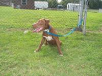 Pit Bull Terrier - Buddy - Medium - Adult - Male - Dog