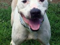 Pit Bull Terrier - Buster - Medium - Adult - Male -