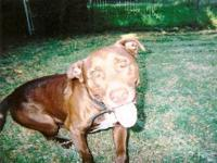 Pit Bull Terrier - Buster - Medium - Young - Male -
