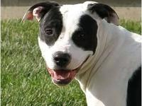 Pit Bull Terrier - Cali Aka Snowflake - Large - Young -