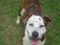 Pit Bull Terrier - Cali - Large - Adult - Female - Dog