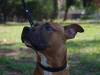 Pit Bull Terrier - Captain - Large - Young - Male -