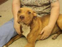 Pit Bull Terrier - Carmella - Large - Adult - Female -