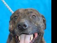 Pit Bull Terrier - Carmella - Huge - Grownup - Lady -