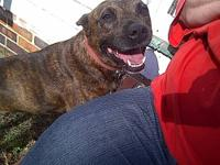 Pit Bull Terrier - Casey - Kc - Medium - Adult - Female