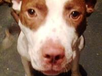Pit Bull Terrier - Cedar - Large - Young - Male - Dog