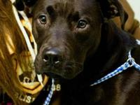 Pit Bull Terrier - Champ - Medium - Adult - Male - Dog