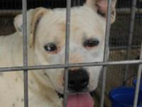 Pit Bull Terrier - Chance - Large - Adult - Male - Dog