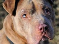 Pit Bull Terrier - Charlie - Large - Adult - Male -
