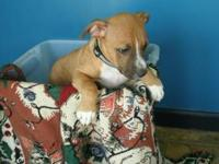 Pit Bull Terrier - Charlie - Medium - Baby - Male -