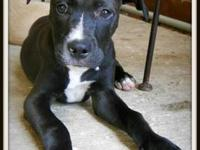 Pit Bull Terrier - Charlie - Medium - Young - Male -