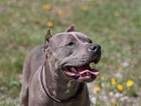 Pit Bull Terrier - Chickati - Medium - Adult - Female -