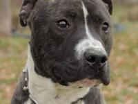 Pit Bull Terrier - Chiclet - Medium - Adult - Male -