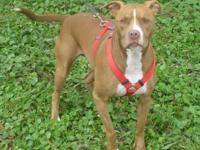 Pit Bull Terrier - Chloe - Medium - Adult - Female -