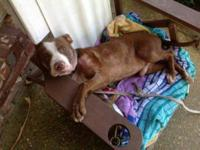 Pit Bull Terrier - Church - 8 Mo - Medium - Young -
