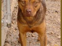 Pit Bull Terrier - Cleo - Large - Adult - Female - Dog