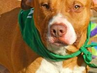 Pit Bull Terrier - Clyde - Medium - Young - Male - Dog