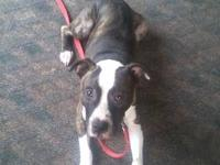 Pit Bull Terrier - Cody - Large - Adult - Male - Dog