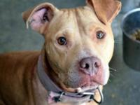 Pit Bull Terrier - Colt - Medium - Adult - Male - Dog