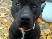 Pit Bull Terrier - Columbia - Medium - Young - Female -