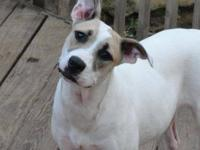 Pit Bull Terrier - Cookie - Medium - Young - Female -