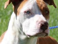Pit Bull Terrier - **courtesy Listing** Spanky - Medium