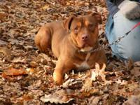 Pit Bull Terrier - Cupid - Medium - Adult - Male - Dog