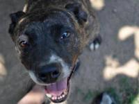 Pit Bull Terrier - Cutie Pie - Medium - Adult - Female