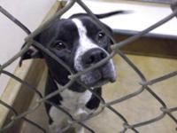 """Pit Bull Terrier - D120656 Avil Date 12/31/12 """"alex"""" -"""
