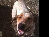 Pit Bull Terrier - Daisy - Large - Young - Female -