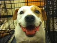 Pit Bull Terrier - Daisy - Medium - Adult - Female -