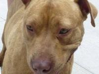 Pit Bull Terrier - Daria - Medium - Adult - Female -