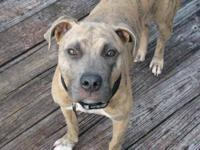 Pit Bull Terrier - Daryl - Medium - Young - Male - Dog