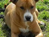 Pit Bull Terrier - Demi - Extra Large - Adult - Female