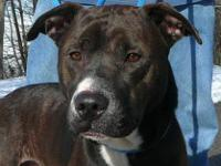 Pit Bull Terrier - Derby-neutered - Medium - Adult -