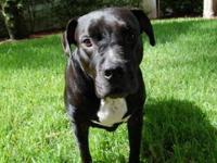 Pit Bull Terrier - Devin - Medium - Young - Male - Dog