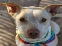 Pit Bull Terrier - Divine - Medium - Adult - Female -