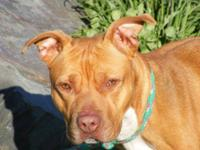 Pit Bull Terrier - Dorie - Medium - Adult - Female -