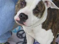 Pit Bull Terrier - Dottie Id 114360 - Medium - Young -