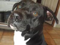 Pit Bull Terrier - Dudley **total Goofball** - Medium -