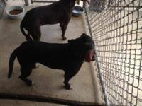 Pit Bull Terrier - Edie - Medium - Baby - Female - Dog
