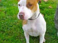 Pit Bull Terrier - Electra - Medium - Adult - Female -