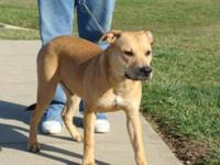Pit Bull Terrier - Eli - Medium - Adult - Male - Dog