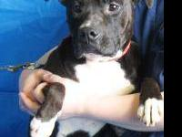 Pit Bull Terrier - Faith - Medium - Adult - Female -