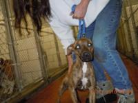 Pit Bull Terrier - Fawn - Small - Young - Female - Dog